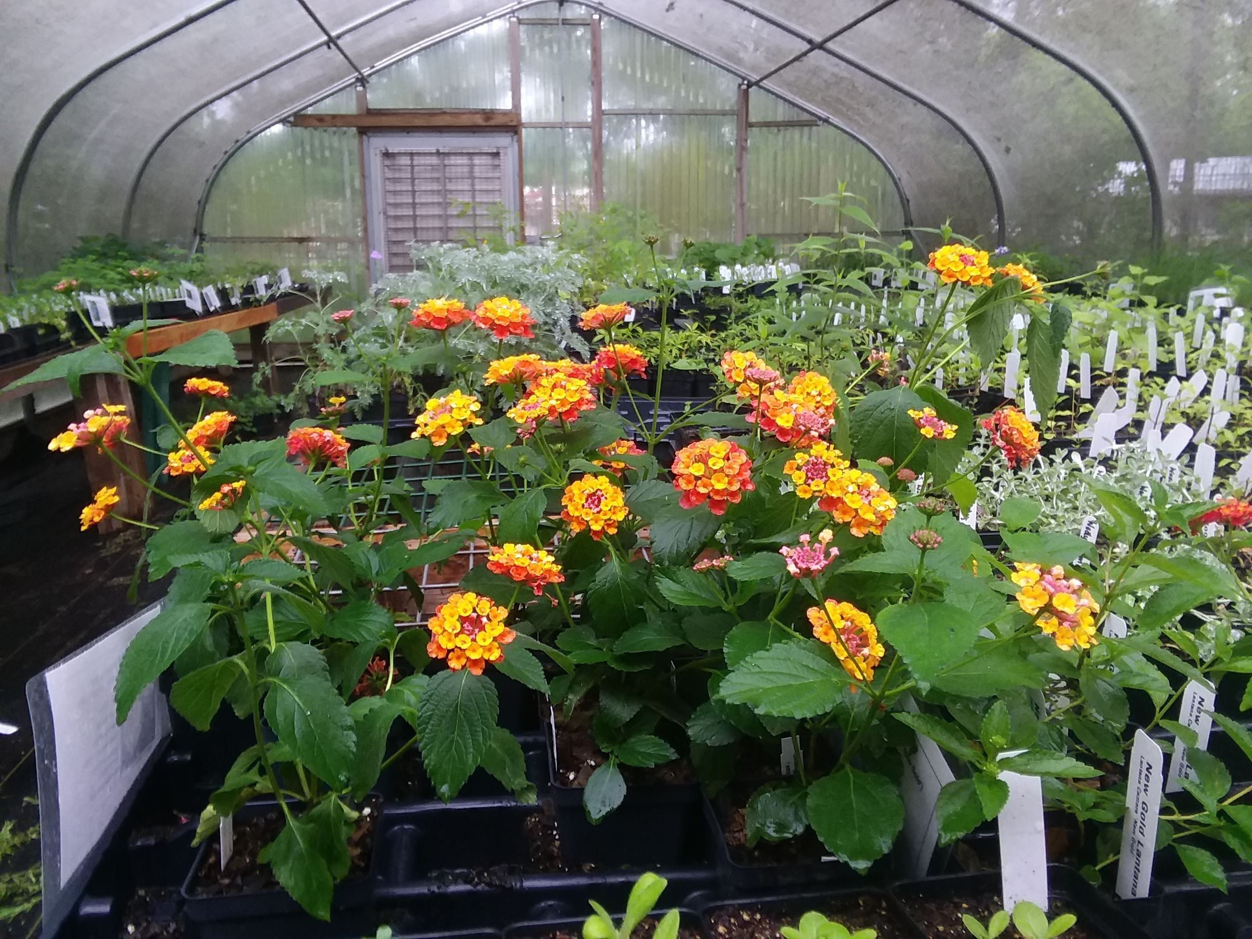 Lantana plants in a greenhouse