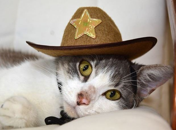 White and grey cat laying on a chair wearing a cowboy hat