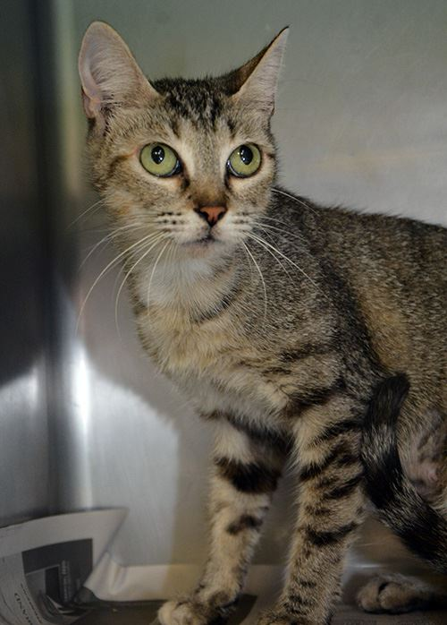 Tabby cat in kennel looking at camera