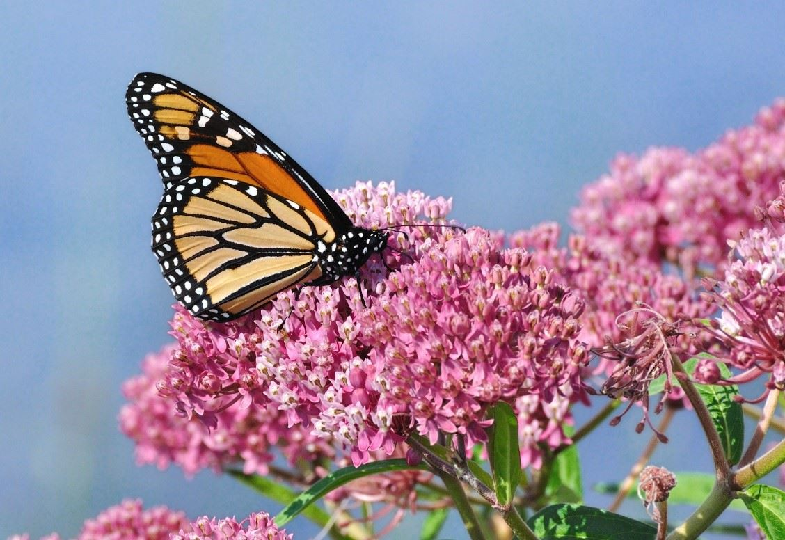 Monarch on flowers