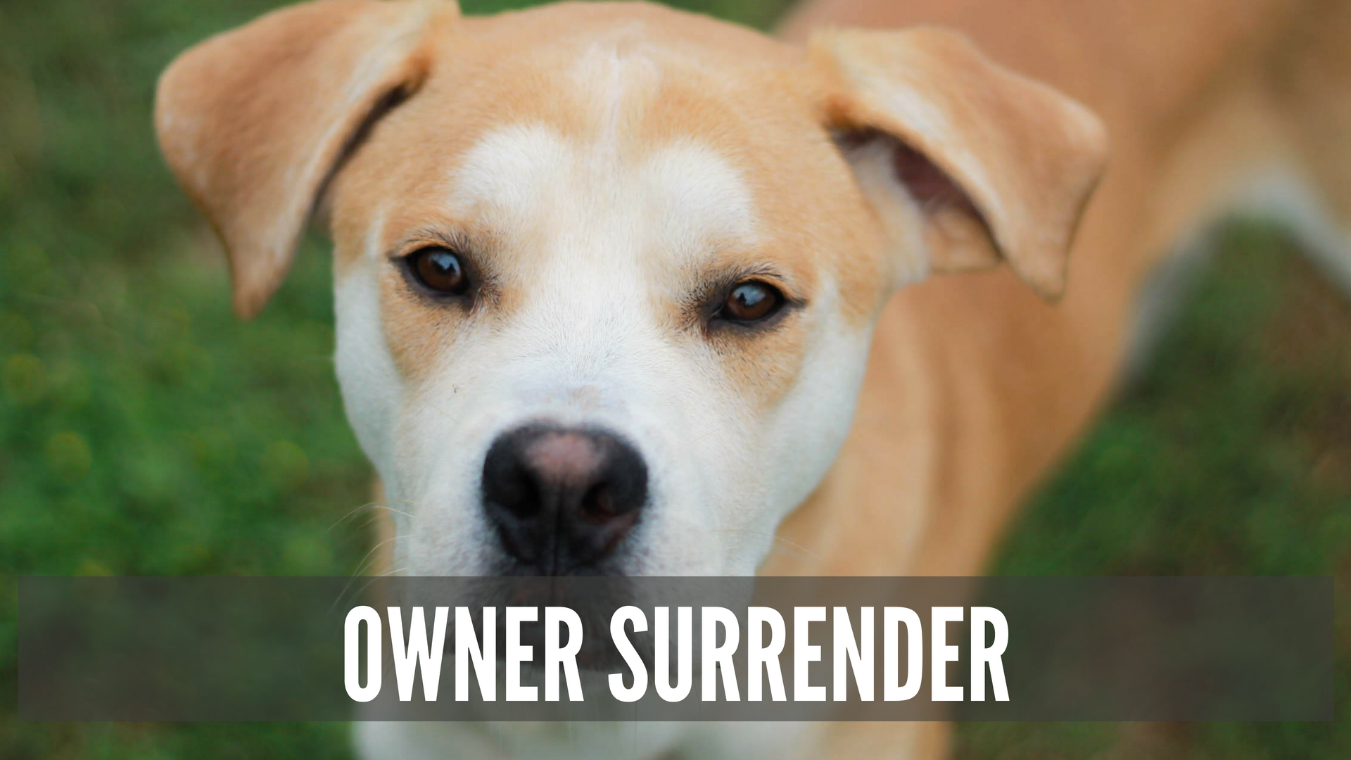"A yellow dog looking at the camera with the text ""Owner Surrender"" Superimposed"