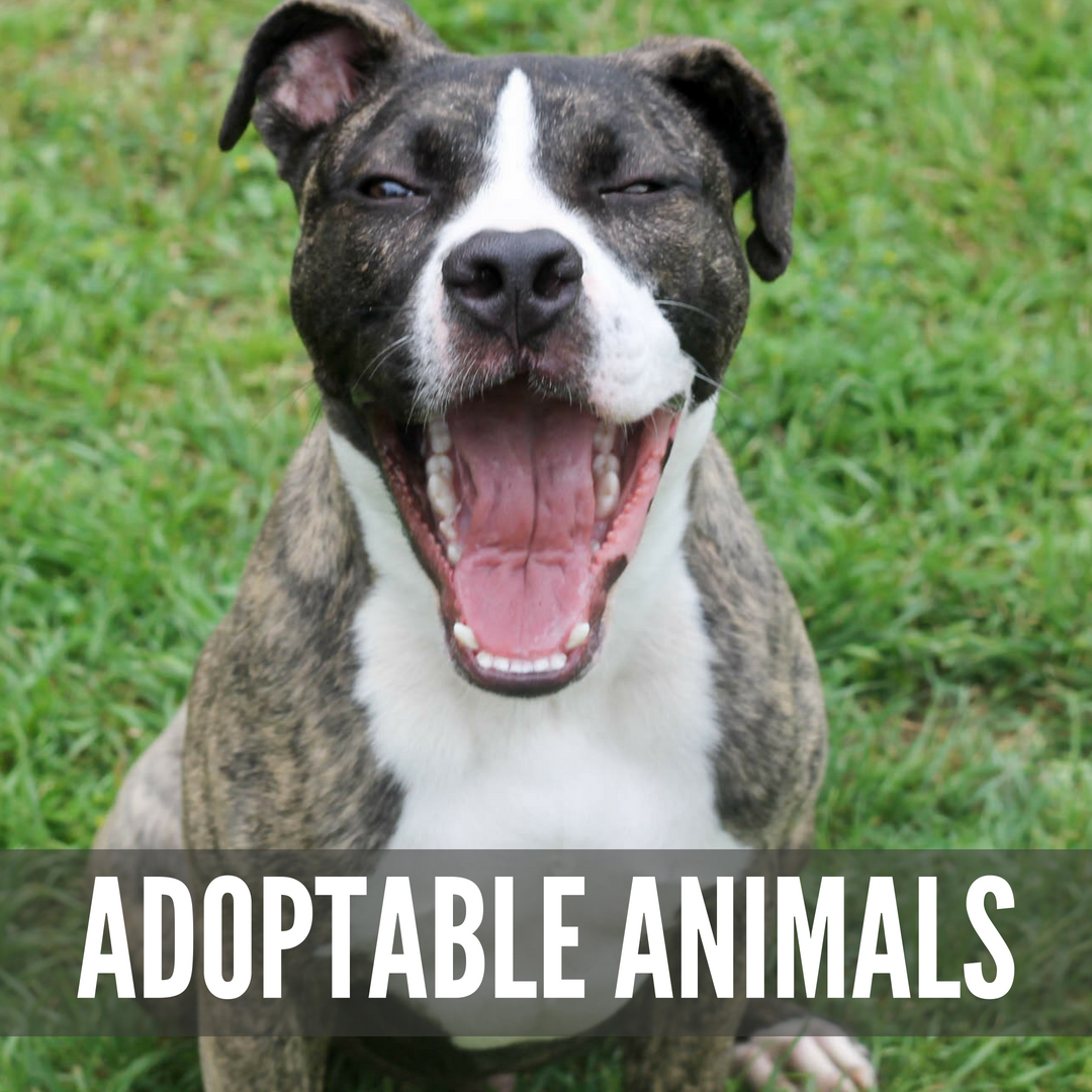 "A yawning brown and white dog with the text ""Adoptable Animals"" Superimposed"